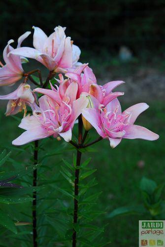 lys asiatique double elodie