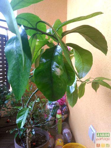 taches marron ronde sur feuilles de citronnier