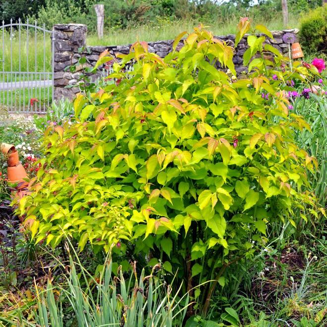 arbre aux faisans dore