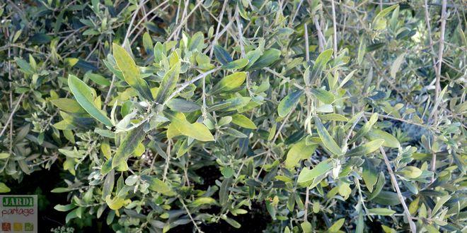 Olivier 7 maladies et probl mes expliqu s jardipartage - Maladie de l olivier mousse blanche ...