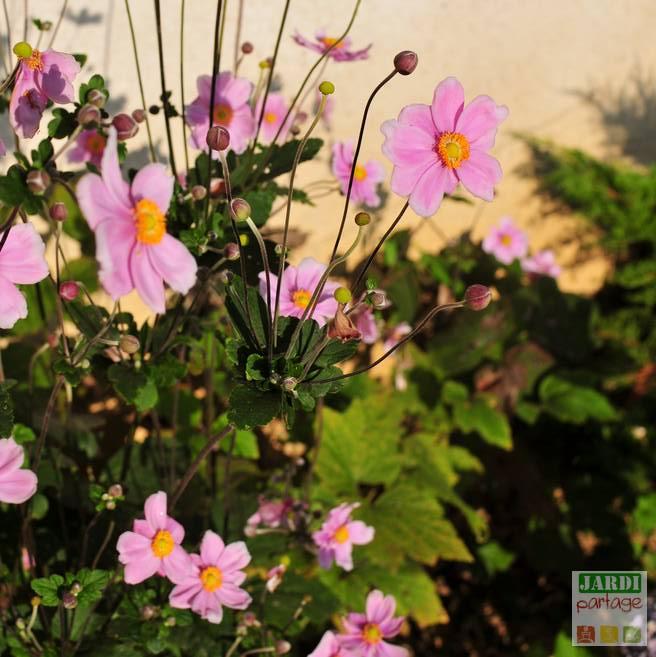 Anemone du japon rose