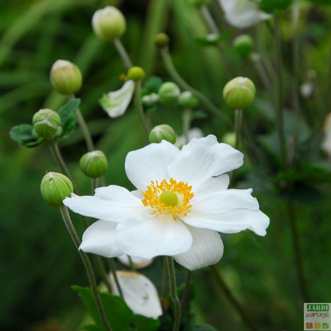 anemone du japon honorine jobert