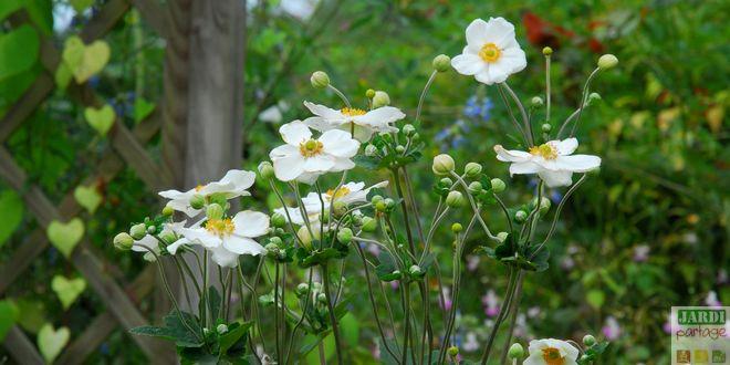 anemone plante