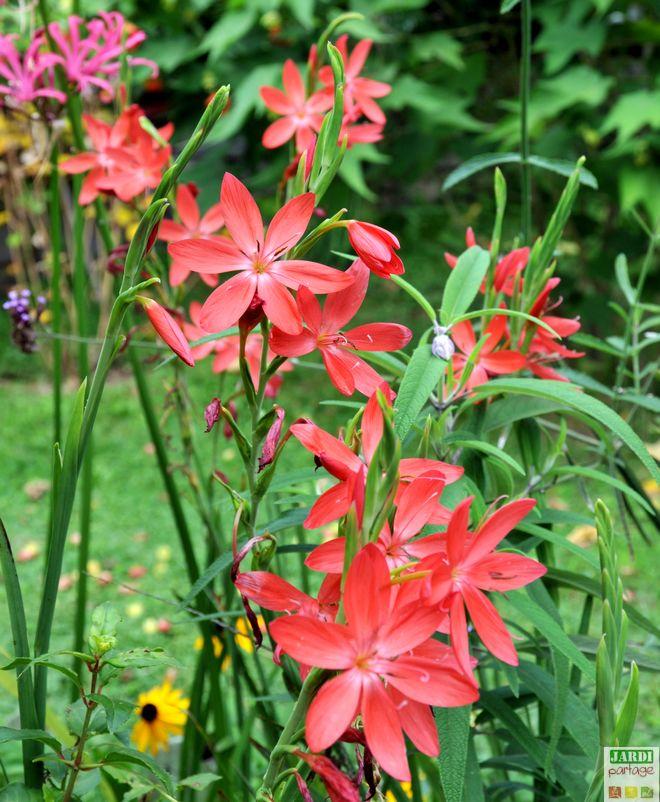 Quel entretien pour le lis des cafres jardipartage for Acheter amaryllis