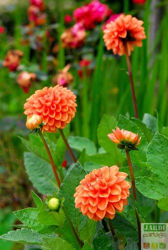 fleur dahlia pompon orange