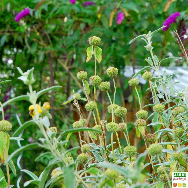 phlomis russeliana jaune