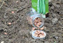 semer des feves