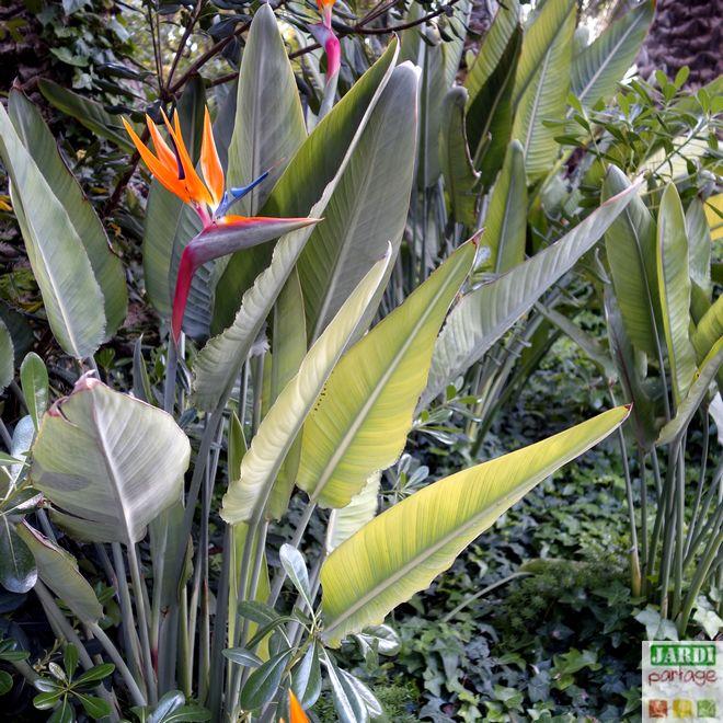 comment soigner la plante oiseau du paradis