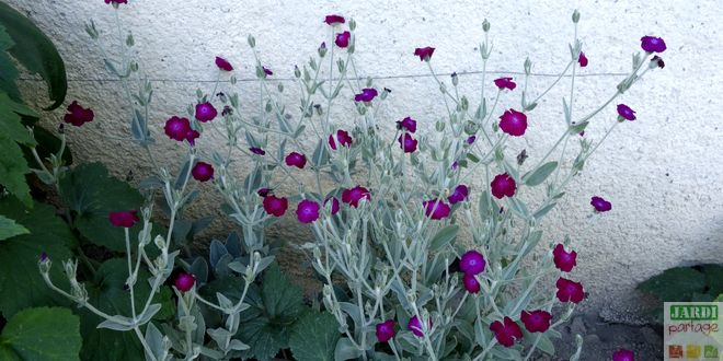 Coquelourde des jardins culture entretien jardipartage - Coquelourde des jardins lychnis coronaria ...
