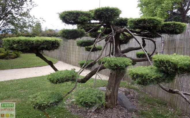 jardin japonais conifere taille