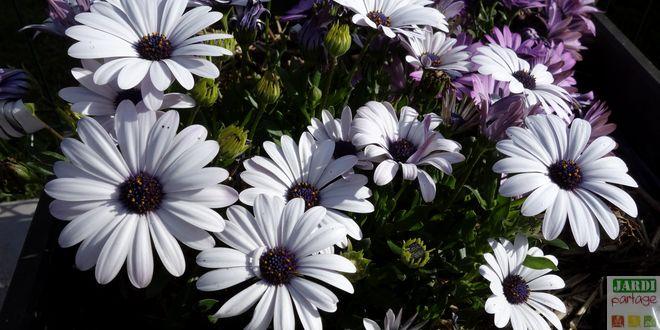 plante osteospermum