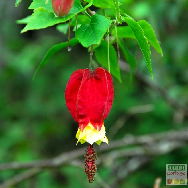 abutilon megapotanicum