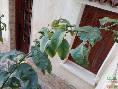 citronnier perd ses fleurs