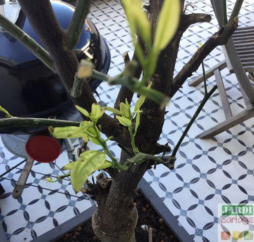 Bout des feuilles du citronnier noircissent