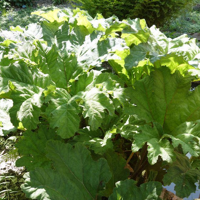 semis rhubarbe geante