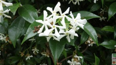 Faux jasmin trachelospermum jasminoides