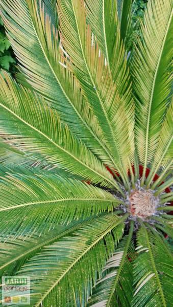 feuilles du cycas jaunissent
