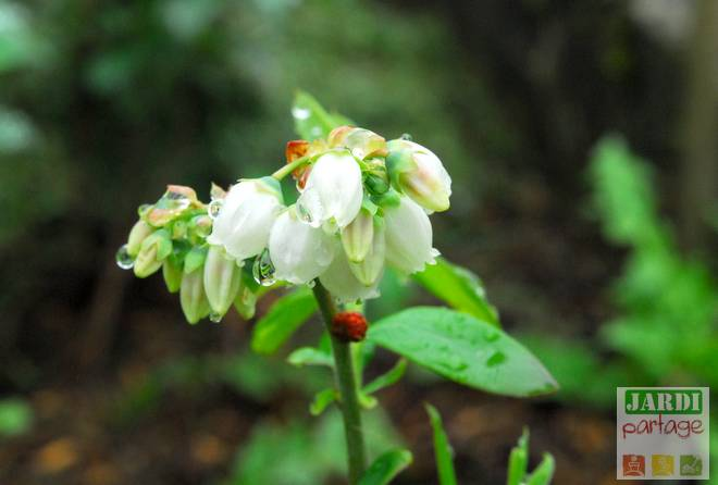 fleurs du myrtillier