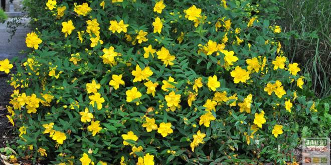 millepertuis arbuste