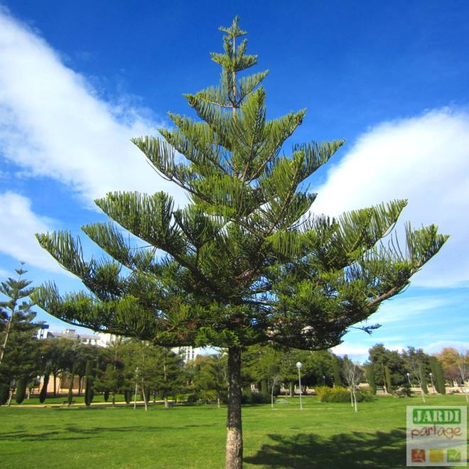 araucaria heterphylla pin de norfolk