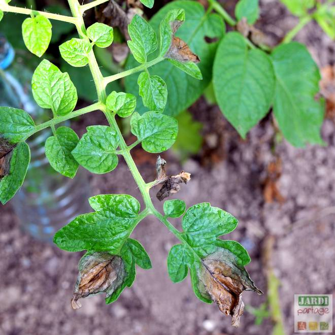 maladie des feuilles de tomates