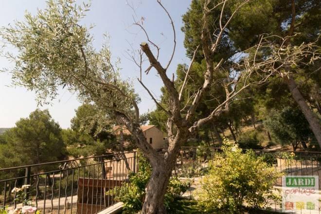 branches olivier qui meurent