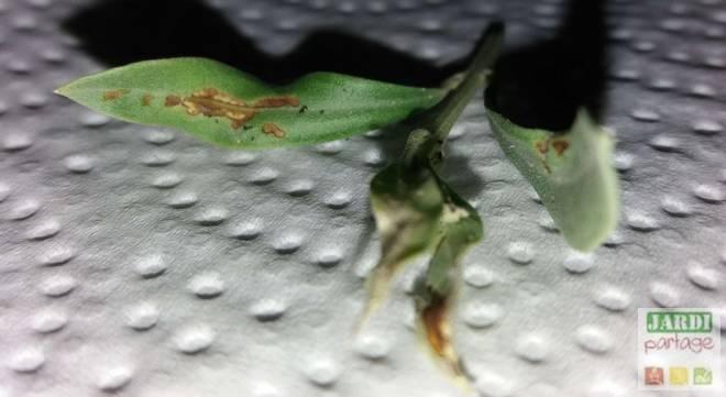 cochenille noire olivier