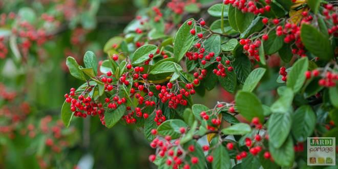 cotoneaster arbuste pour attirer les oiseaux