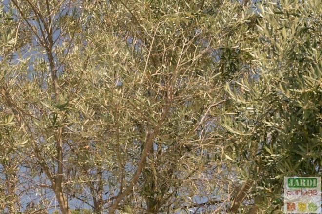 dessechement branche olivier