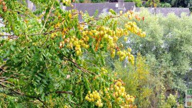 savonnier arbre