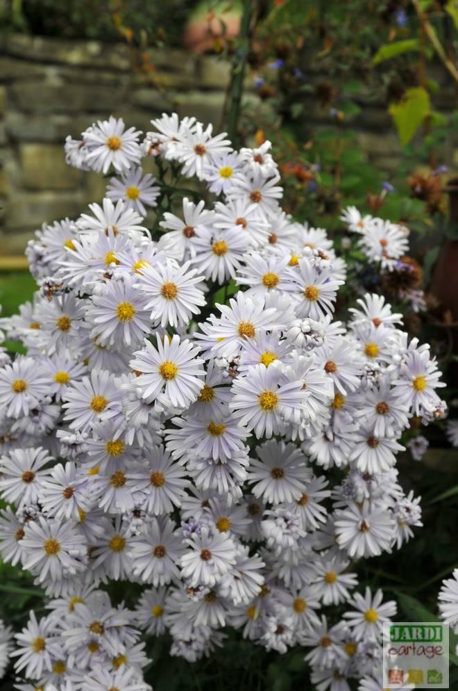 aster fleur entretien