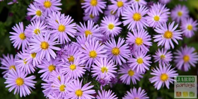 Aster Fleur Vivace Reine De L Automne Jardipartage
