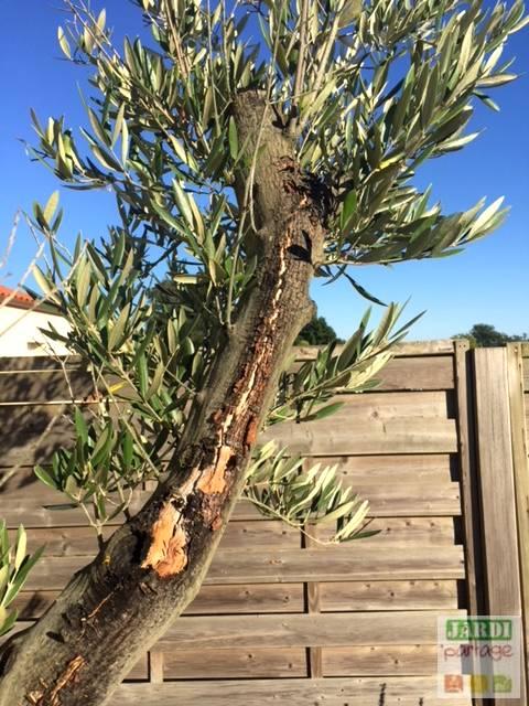 olivier ecorce decollee