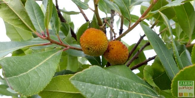 arbousier plantation