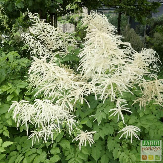 astilbe blanche floraison