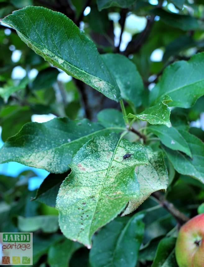 maladie pommes feuilles