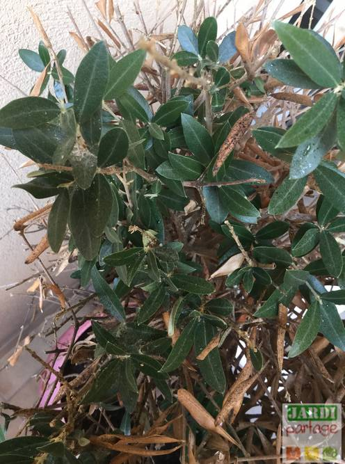 olivier beaucoup de feuilles seches