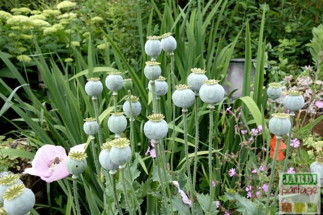 pavot fleur entretien
