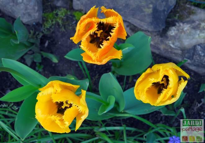 planter des bulbes de tulipes