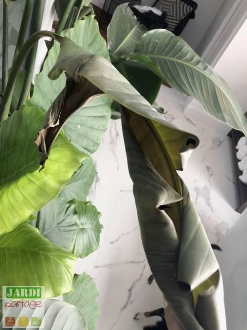 oiseau de paradis feuilles marron