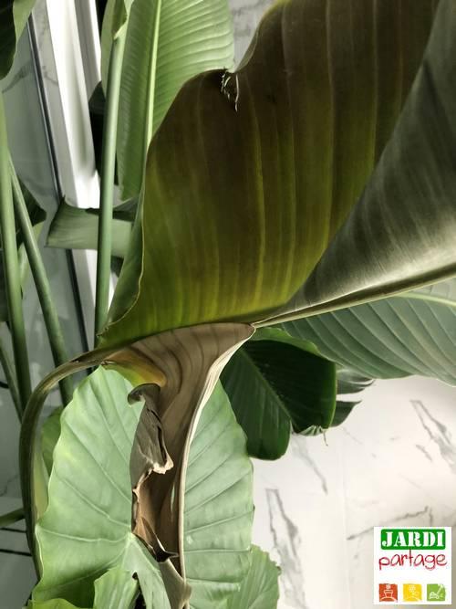 oiseau de paradis feuilles malades