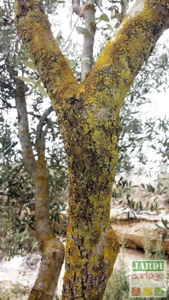 lichens tronc olivier