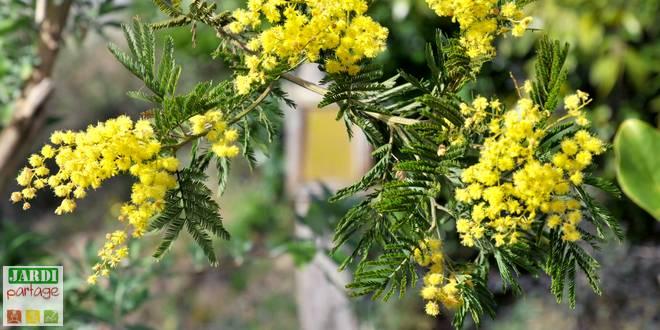 plantation mimosa