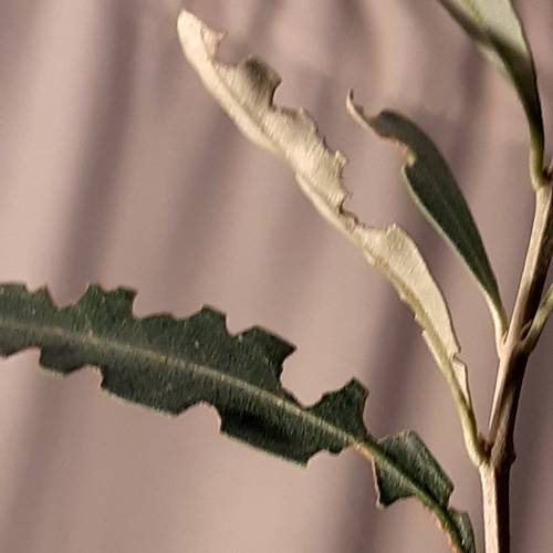 Feuilles olivier grignottees