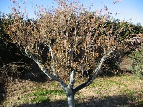 olivier feuilles brunes et seches