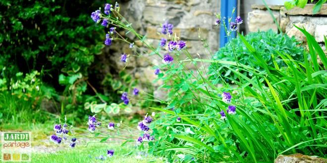 Ancolie: une fleur élégante pour l\'ombre   Jardipartage