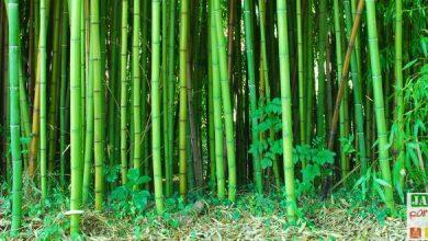planter un bambou