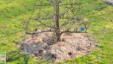 arrosage arbre fruitier
