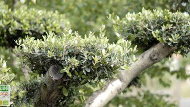 arrosage olivier en pot