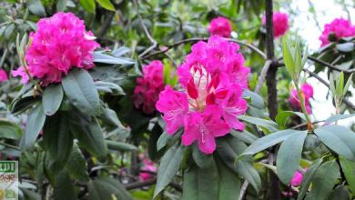 bouture rhododendron